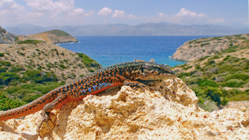 An Aegean wall lizard on the island of Makares, Greece. Image credit: Johannes Foufopoulos