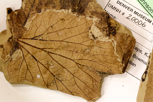 "A fossilized leaf of 'Vitis' stantonii, a grapelike plant from the Hell Creek Formation in North Dakota. Blonder is especially interested in the venation network of each leaf, because veins may be a very good proxy for temperature via their role in constraining leaf water usage. ""Fortunately many fossils have exquisite preservation of veins,"" he said. (Photo credit: Benjamin Blonder)"