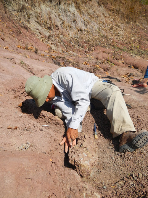 Mana Rugbumrung, a researcher at the Department of Mineral Resources in Bangkok, examines the freshly excavated skull of an anthracothere, a hippopotamus-like mammal that lived 40 million years ago in what is now Myanmar. (Photo credit: Alexis Licht, 2012)