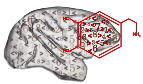 """Nervenzellen des Präfrontalkortex (gekennzeichnet durch die Lage der Strukturformel) können unter dem Einfluss von Dopamin """"Größer-als-"""" oder """"Kleiner-als-Regeln"""" besser verarbeiten. Abbildung credit: Lehrstuhl Tierphysiologie/Universität Tübingen"""