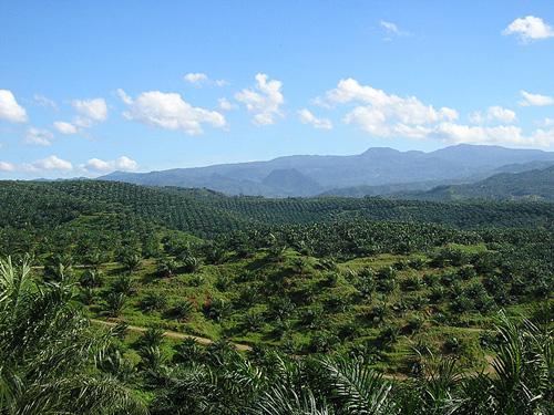 Palmölplatange. Photo credit: Achmad Rabin Taim (Source: Wikipedia)