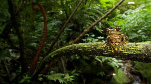 Parkers Waldsteigerfrosch (Leptopelis parkeri), der als stark gefährdet gilt und in den Uluguru Bergen in Tansania lebt. Foto credit: Michele Menegon