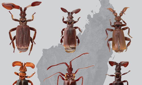 Ant-nest beetles from Madagascar (Photo courtesy of Wendy Moore and James Robertson)