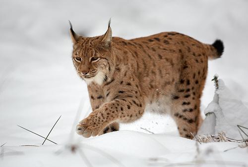 Um das Verhalten der Tiere unter verschiedenen Lichtverhältnissen zu untersuchen, wurden Tiere aus Nordskandinavien mit einbezogen, wo die Sonne im Winter nicht auf- und im Sommer nicht untergeht. Foto credit: Martin Mecnarowski (Source: Wikipedia)