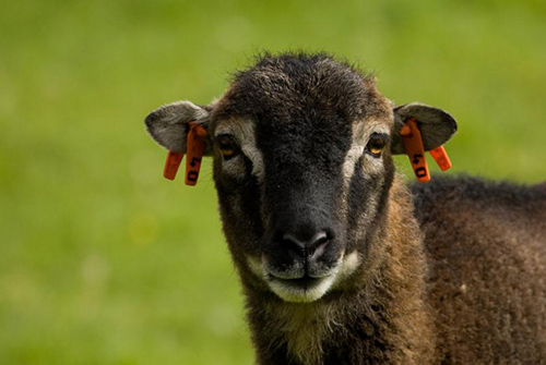 In the first evidence that natural selection favors an individual's infection tolerance, researchers from Princeton University and the University of Edinburgh have found that an animal's ability to endure an internal parasite strongly influences its reproductive success. The researchers used 25 years of data on a population of wild Soay sheep (above) living on the island of Hirta in northwest Scotland to assess the evolutionary importance of infection tolerance. The researchers tracked the number of offspring produced by each of nearly 2,500 sheep and found that those with the highest tolerance to infection produced the most offspring. (Photo by Arpat Ozgul, University of Edinburgh)