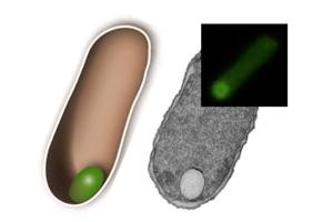 Schema, elektronenmikroskopische Aufnahme und Fluoreszenzbild von Organellen. Image Quelle: Stefan Schiller