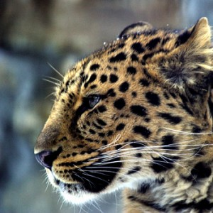 Amur-Leopard. Image credit:© Vasiliy Solkin / WWF Russia