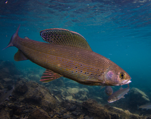 An Arctic grayling, a freshwater fish. Image credit: Jonny Armstrong