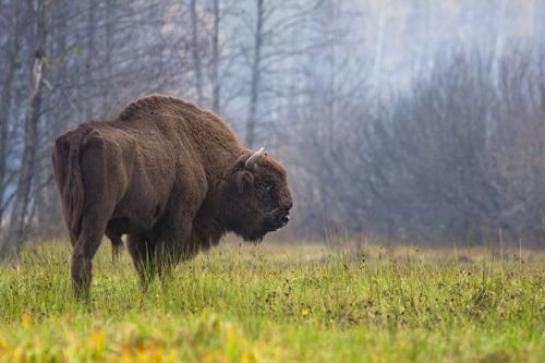 Wisente sind die größten, freilebenden Säugetiere Europas. Image credit: © Rafal Kowalczyk