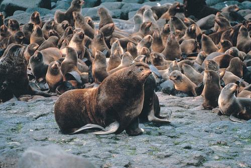 Nördliche Seebären leben unter anderem auf der Sankt-Paul-Insel in der Beringsee westlich von Alaska. Ihr Lebensraum könnte durch Ölbohrungen zerstört werden. Photo credit: M. Boylan (Source: Commons.Wikimedia)