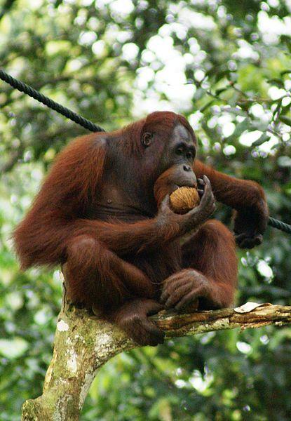 Der Lebensraum der Orang-Utans ist ein kleines bisschen weniger in Gefahr - dafür sorgte der indonesische Papierkonzern APP. Er dämmte die Abholzung des Regenwaldes ein. Image credit: Eleifert - Own work. Licensed under CC BY-SA 3.0 via Wikimedia Commons