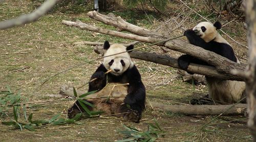 Pandas eating bamboo. Image credit: Asiir at en.wikipedia (Licensed under CC BY-SA 3.0 via Wikimedia Commons)