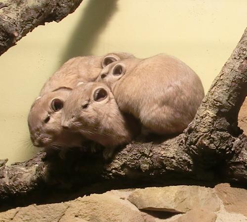 Nahe Verwandte der Laotischen Felsenratte: Die Gundis, aufgenommen im Zoo Frankfurt. Image credit: © Astrid Parys