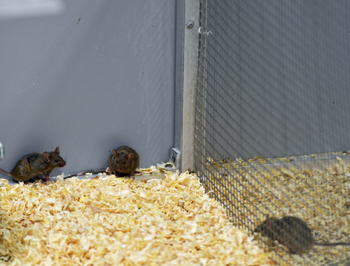 """Mice roaming around a University of Utah """"mouse barn"""" that is the heart of a new sensitive test to determine toxicity of sugars, drugs and other substances. Photo Credit: Douglas Cornwall, University of Utah"""