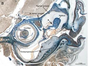 Histologischer Schnitt durch das Mittelohr der Laotischen Felsenratte. Die Lage der Chorda tympani kann zur Überprüfung von Verwandschaften dienen. Image credit: © Senckenberg (Click image to enlarge)