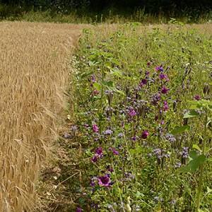Drilllücken im Getreide bieten Raum für Ackerwildkräuter. Image credit: © Frank Gottwald / WWF