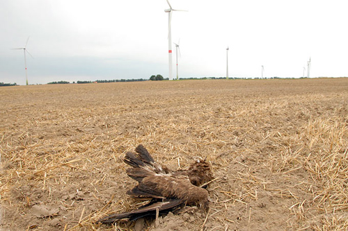 Schreiadler als Schlagopfer an einer Windkraftanlage in Mecklenburg-Vorpommern – Foto credit: NABU