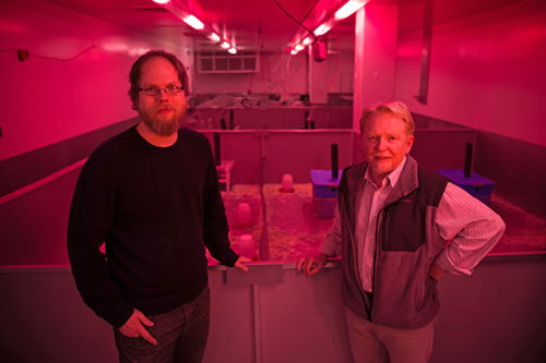 """Bathed in reddish-pink light that means it is nighttime for mice, University of Utah biologists James Ruff and Wayne Potts stand in front of a series of """"mouse barns"""" used in their latest study of the toxicity of sugars fed to mice in doses proportionate to the sugar consumption of many people. Mice cannot detect the pink light but people can, so it allows the researchers to work in the mouse barn area during nighttime for the mice. Photo Credit: Andy Brimhall, University of Utah Marketing and Communications"""