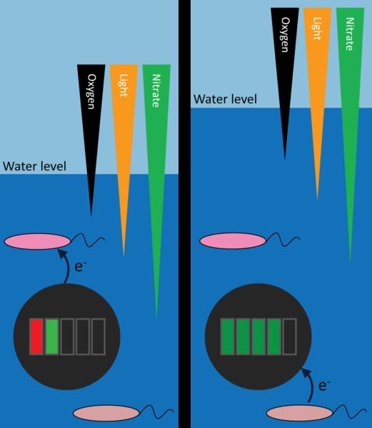 Die Eisen oxidierenden Bakterien entziehen der Magnetit-Batterie Elektronen (Entladung, links), während die Eisen reduzierenden Bakterien auf der Magnetit-Batterie ablagern (Wiederaufladung, rechte Seite). Image credit: Universität Tübingen