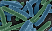 The E.coli bacteria. Image credit: University of Exeter