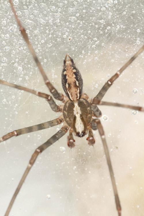 Männchen der neuentdeckten Hausspinnen-Art Eratigena laksao aus Laos. Image credit: © Peter Jäger/Senckenberg