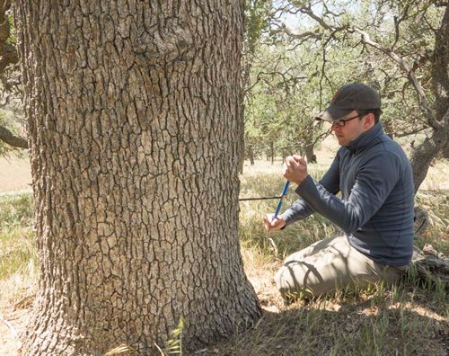 "WHOI paleoclimatologist Kevin Anchukaitis collects a tree-ring sample from a 300-year old blue oak in California. Griffin and Anchukaitis found that while the current period of low precipitation is not unusual in California's history, these rainfall deficits combined with sustained record high temperatures created the current multiyear severe water shortages. ""While it is precipitation that sets the rhythm of California drought, temperature weighs in on the pitch,"" says Anchukaitis. (Photo by Dan Griffin)"