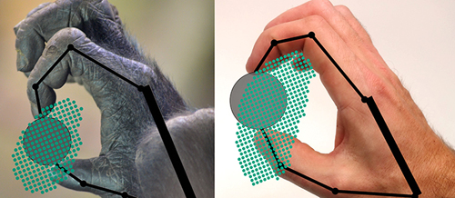 This figure shows samples of the ability of a gorilla and a human to grip and move an object. The kinetic model estimates the ability to grip and manipulate a circular object. The dots indicate positions in which the object can be gripped. Image credit: Yale University
