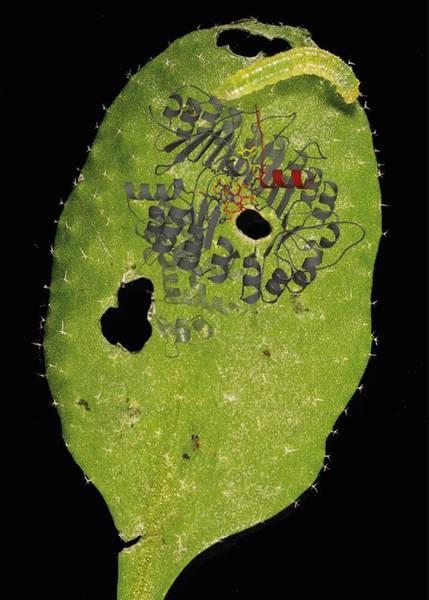 Das Blatt einer Ackerschmalwand (Arabidopsis thali-ana) ist von einer Raupe des Kohlweißlings (Pieris rapae) befallen und ruft eine Immunantwort der Pflanze hervor. In schematischer Zeichnung ist in starker Vergrößerung der Jasmonsäurerezeptor, ein F-Box-Proteinkomplex, dargestellt. Nur bei gleichzeitigem Binden von Inositol(pyro)phosphat (magentarot) und aktiver Jasmonsäure (bzw. einem Jasmonsäure-Analogon, gelb) kommt es zur Rekrutierung und zum Abbau des sogenannten Jasmonat-ZIM-Domäne (JAZ) Repressors (dunkelrot), woraufhin Abwehrreaktionen eingeleitet werden. Image credit: Universität Tübingen