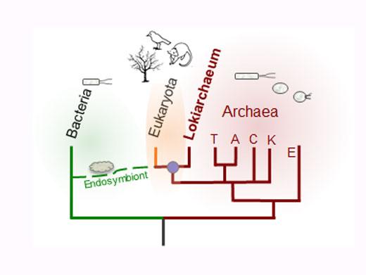 Die Lokiarchaea bilden eine Gruppe von Archaea, die überraschenderweise Ähnlichkeiten mit den Vorfahren der heutigen Eukaryoten aufweisen (Image copyright: Christa Schleper).