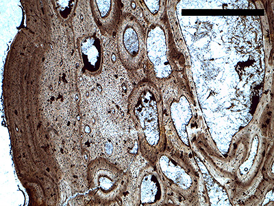 """Dinosaur bones exhibit internal layers that mark each year of growth, similar to tree rings. When an animal's full growth is reached, the rings become a tightly packed outer layer called an """"external fundamental system,"""" or EFS (above). Using a microscope, Saitta saw reduced growth in both varieties of plates, and an EFS in two of the tall and narrow plates. This established that the tall and wide plates came from both sexually mature young adults and fully grown old adults. (Image by Evan Saitta, University of Bristol)"""