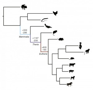 Genes gained (+) or lost (-) as the common ancestor to all mammals (Mammalia), marsupial and placental mammals (Theria) and placental mammals (Eutheria) evolved. Image courtesy of Vincent Lynch (Click image to enlarge)