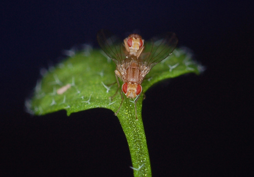 A plant-insect model system: Scaptomyza flava flies mating on Arabidopsis leaf. (Photo credit: Noah Whiteman)