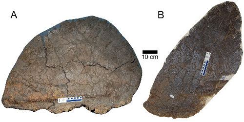 The short and wide plates (left) from S. mjosi were 45 percent larger in surface area than the taller, pointier plates. This variation is unique to this S. mjosi as other species of Stegosaurus have distinct plates shared by all individuals. (Image by Evan Saitta, University of Bristol)