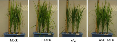 """UD experiments demonstrated the impact of rice plants that have had root inoculations with the soil microbe EA106. From left, the """"mock"""" or control plants were not treated with EA106 or with arsenic. Plants treated with EA106 show robust growth, while plants treated with arsenic (+As) are stunted and have some yellow leaves. At far right, rice plants treated with arsenic rebound when their roots are inoculated with EA106."""