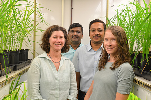 Plant and soil scientists at the University of Delaware are studying the effectiveness of the soil microbe EA106 in decreasing the uptake of arsenic in rice plants. From right, assistant professor Angelia Seyfferth, associate professor Harsh Bais, who also is the lead investigator of the study, postdoctoral researcher Venkatachalam Lakshmanan and professor Janine Sherrier. Photo of researchers by Lindsay Yeager