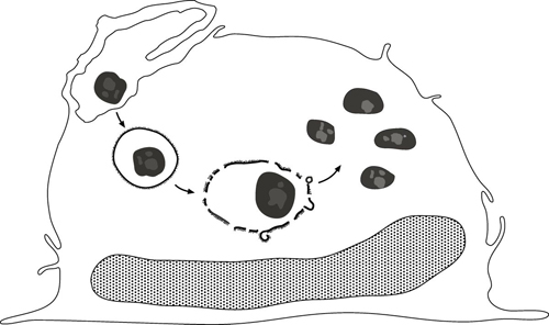 F. tularensis in human macrophages. Lifecycle of Francisella tularensis in human macrophages. F. tularensis enters human macrophages by looping phagocytosis and quickly comes to reside in a membrane-bound phagosome. Many of these phagosomes acquire a unique densely staining fibrillar coat on their cytoplasmic surface. The fibrillar coat and phagosome membrane subsequently fragment, releasing the bacterium to the cytoplasm of the host cell. Subsequently, the bacterium multiplies intracytoplasmically. Image credit: Marcus A. Horwitz and Daniel L. Clemens
