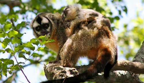 A father owl monkey carries a youngster in his back. Image credit: Yale University