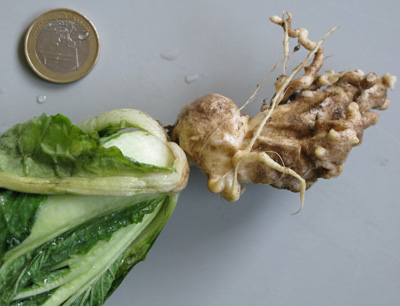 """Kohlgewächse sind besonders betroffen: Ein Befall durch den winzigen Parasiten kann zu Ernteeinbußen führen. Phytomyxea kommen auch bei uns vor, vielleicht ist man den klumpigen Wurzeln beim """"Garteln"""" schon einmal begegnet. Bild credit: Sigrid Neuhauser"""