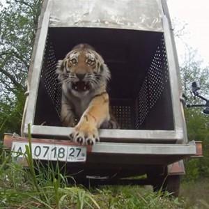 Amur-Tiger springt in die Freiheit. Image credit: © WWF Russia