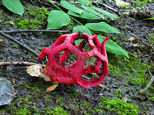 Der Rote Gitterling, eine der 998 beschriebenen Pilzarten in Frankfurt am Main. Image credit: © Senckenberg