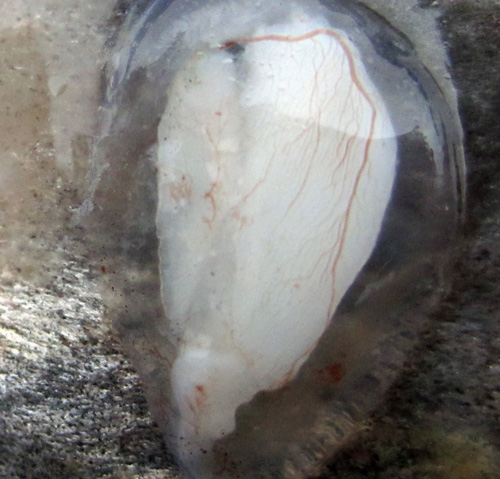 This otolith has been extracted from a fish. It is still within its fluid sac which is surrounded on the outside by blood vessels. Image credit: Sean Brennan, UW