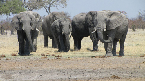 The study found that one-fifth of the world's wild savannah elephant population was poached between 2010 and 2012. Image credit: Blaire Van Valkenburgh
