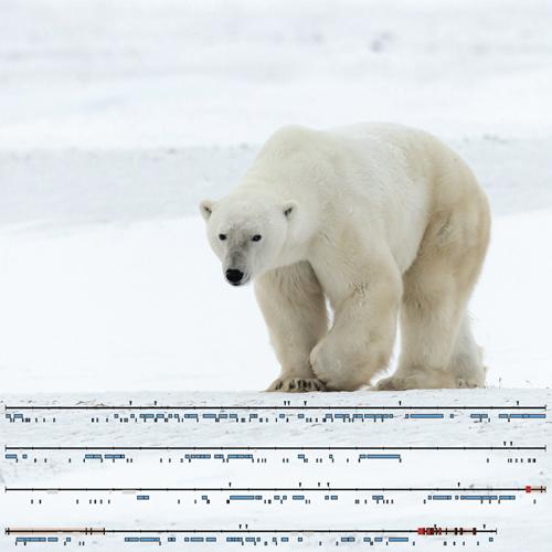 Große Teile des Y-Chromosoms des Eisbären wurden erstmals entschlüsselt. Image credit: © Senckenberg/Janke