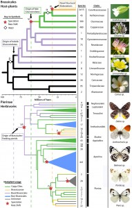 A chart of both Brassicales families (cabbage plants) and Pierinae butterflies, showing co-evolution of the two through millions of years. Image credit: University of Missouri (Click image to enlarge)