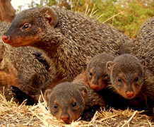 Mongoose behaviour doesn't change with age, according to the study. Image credit: Harry Marshall