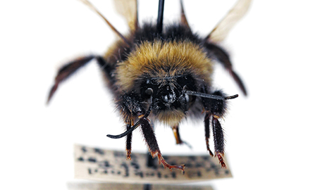 A yellow-banded bumblebee (Bombus terricola), collected in Tunxis State Forest in Connecticut in 1942 by Yale scientist Grace E. Pickford. Image credit: Yale University