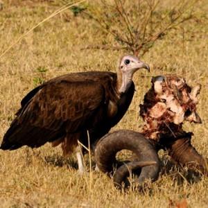 Geier in Afrika. Image credit:  © Gernant Magnin / WWF Netherlands