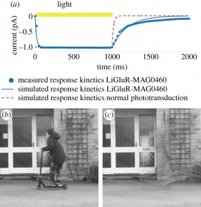 Limitations in sight recovery technologies can cause fast-moving objects to seemingly disappear, as shown in the above image of a child on a scooter.Image credit: Ione Fine and Geoffrey Boynton / University of Washington (click image to enlarge)