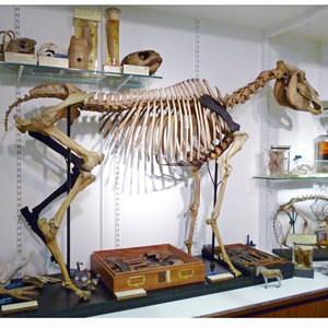 The Quagga with its new 3D printed leg (Image credit: Grant Museum of Zoology at UCL)