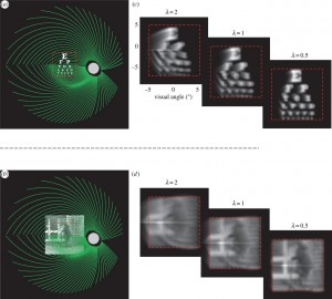 The black and white images show visual distortions that might result from electric prostheses that enable vision by stimulating the retina. Image credit: Ione Fine and Geoffrey Boynton / University of Washington (click image to enlarge)
